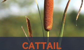 Cattail facts and health benefits