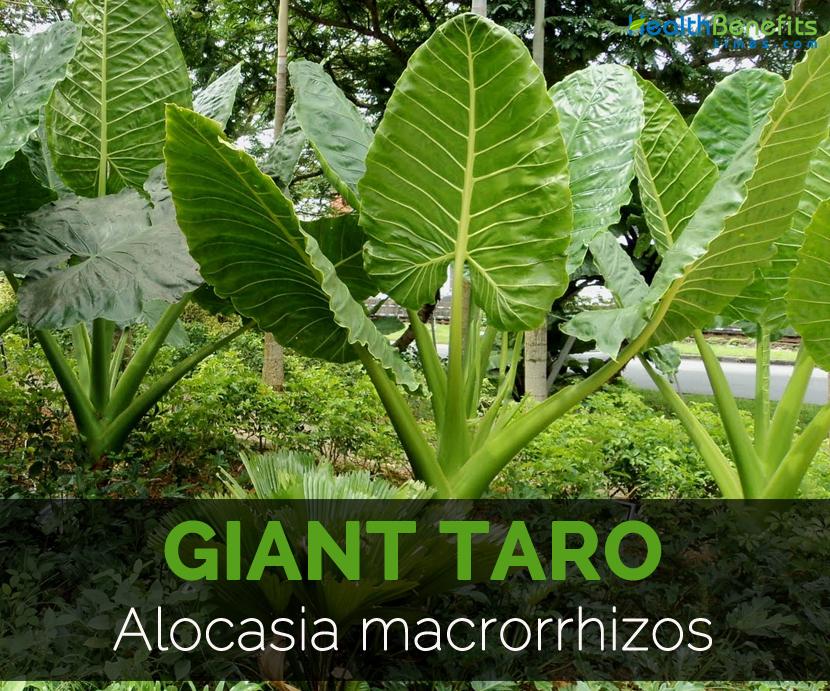 giant-taro-alocasia-macrorrhizos