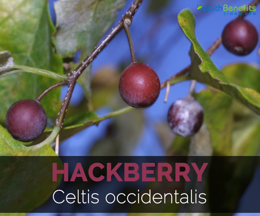 hackberry-celtis-occidentalis