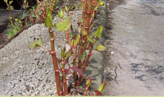 Japanese knotweed - Fallopia japonica