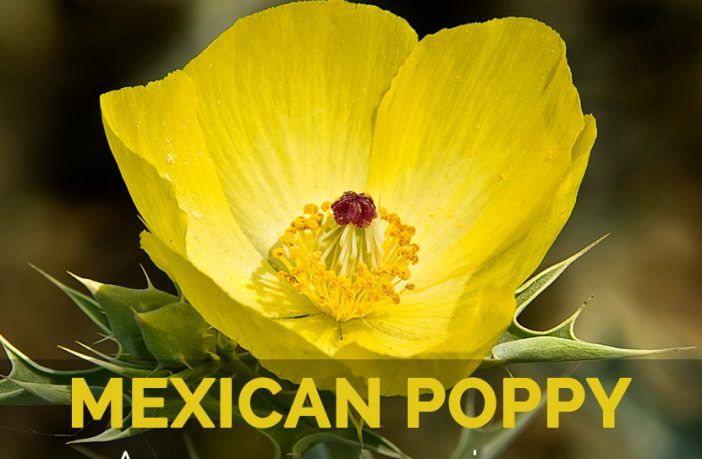 Mexican poppy Facts and Health Benefits
