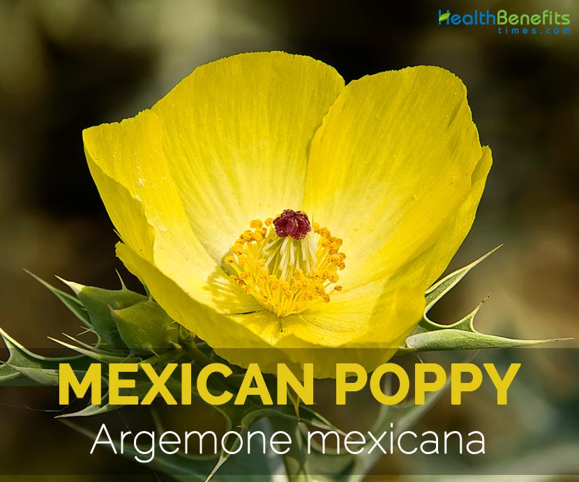 Mexican-poppy-Argemone-mexicana