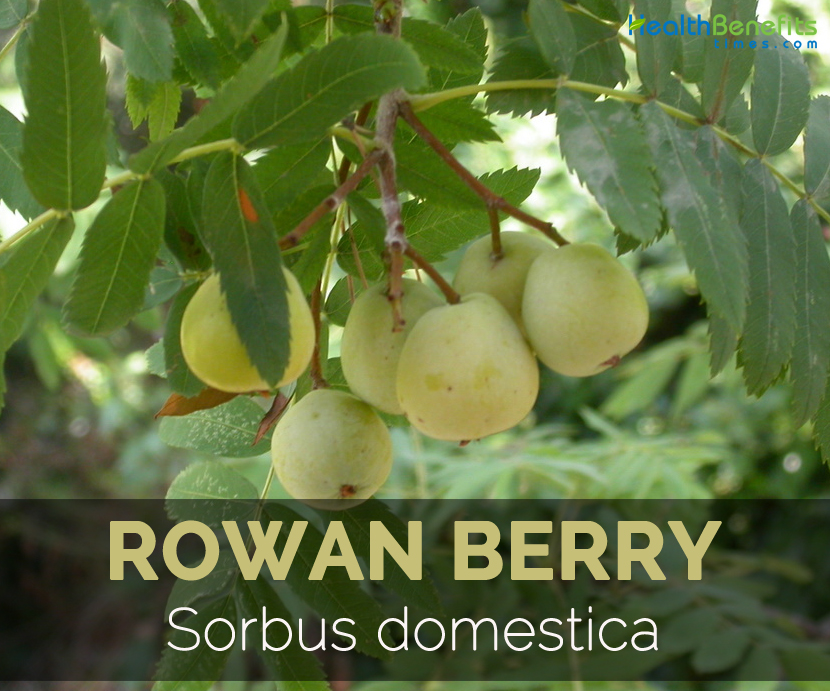 rowan-berry-sorbus-domestica