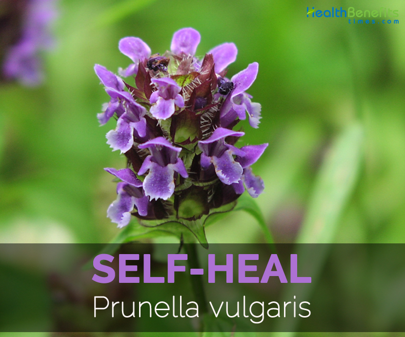 Self-heal-Prunella-vulgaris