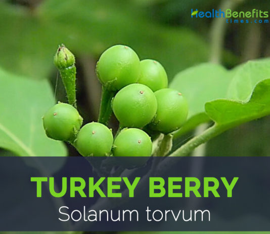 Turkey berry facts and health benefits
