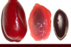 Miracle Fruit-Sysepalum ducificum