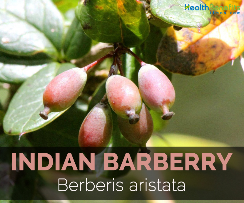 indian-barberry-berberis-aristata