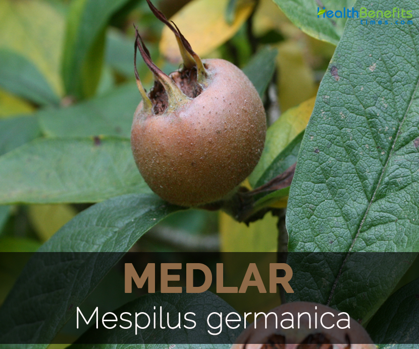 medlar-mespilus-germanica