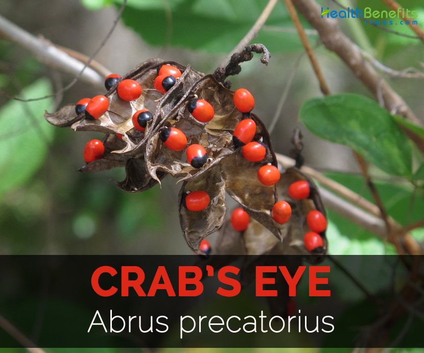 crabs-eye-abrus-precatorius
