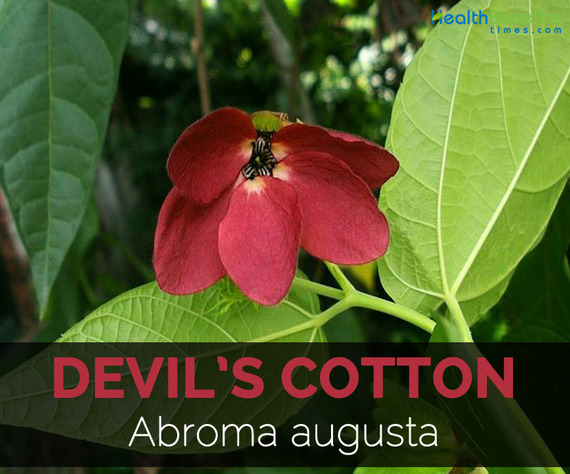 Devils Cotton Facts Health Benefits Nutritional Value