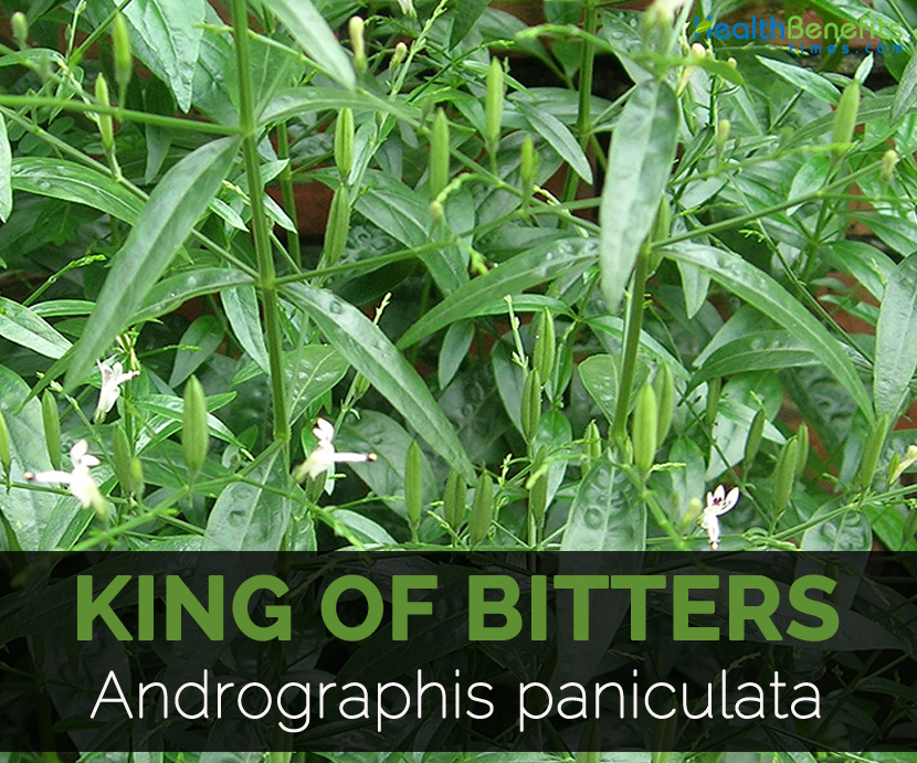 king-of-bitters-andrographis-paniculata