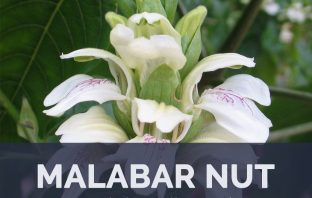 Malabar Nut facts and health benefits