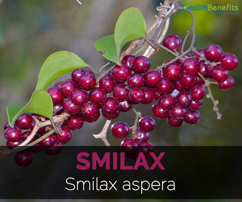 smilax-smilax-aspera