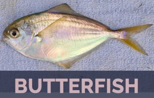 Butterfish facts, benefits and precautions
