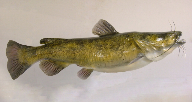 Catfish facts and health benefits for Best time to fish for catfish