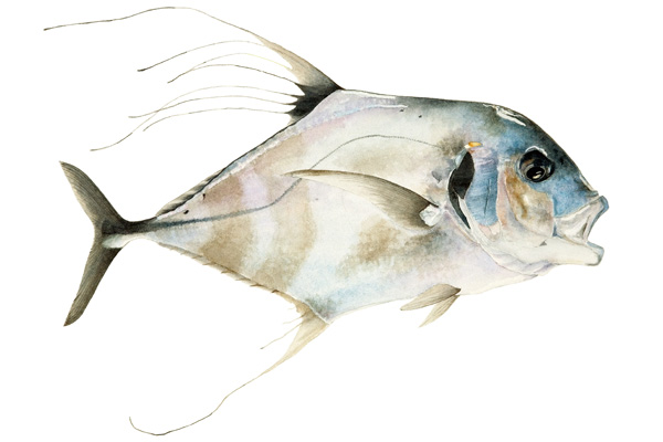 Pompano fish facts and health benefits for Pompano fish good to eat