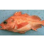Aurora Rockfish