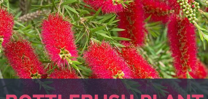 Bottlebrushes facts and health benefits