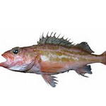 Green striped Rockfish