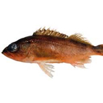 Puget Sound Rockfish