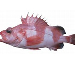 Red banded Rockfish