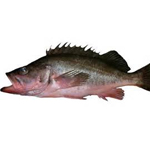 Short belly Rockfish