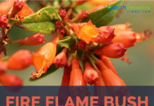 Fire Flame Bush facts and benefits