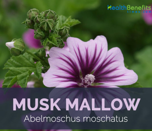 Musk mallow uses and benefits