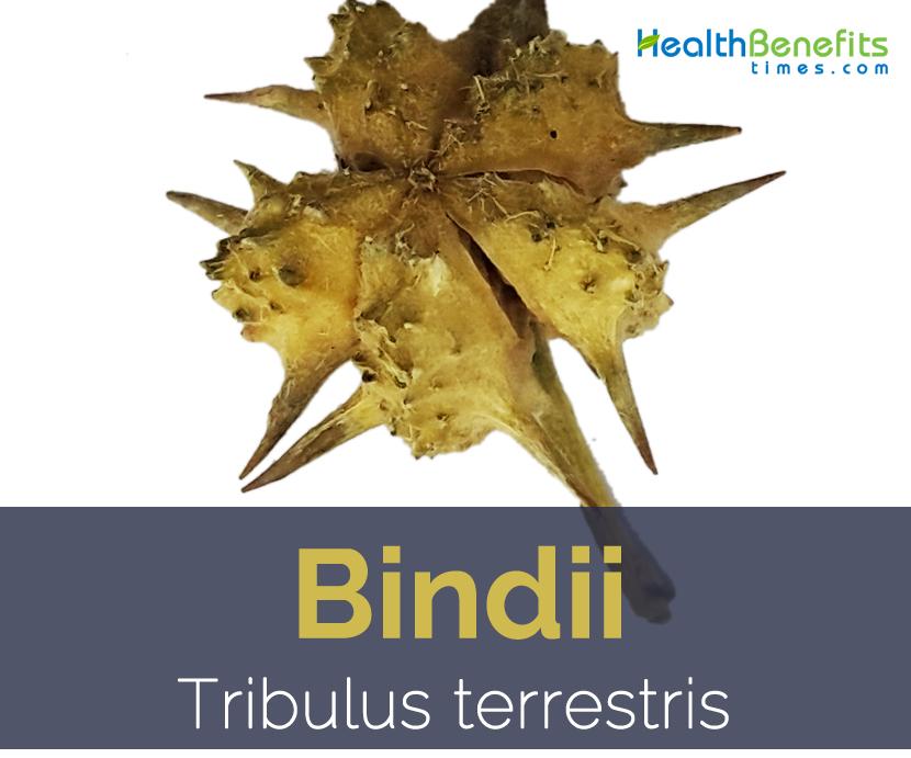 Bindii, Puncture Vine, goat's head, tackweed, Tribulus Terrestris