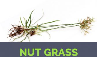 Nut Grass facts and health benefits