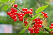 6 Health benefits of Redcurrants