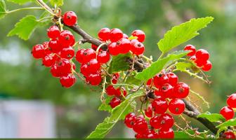 6 Health benefits of Redcurrants