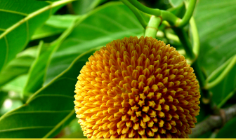 8 Health benefits of Kadamba Tree (Burflower)