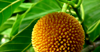 8 Health benefits of Kadamba Tree (Burflower)