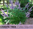 Health benefits of Chaste tree