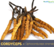 Health-benefits-of-Cordyceps
