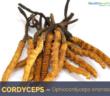 Health-benefits-of-Cordyceps