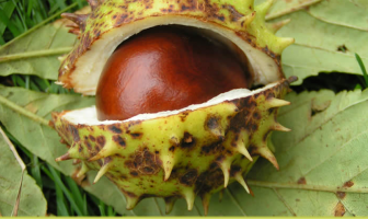 Health-benefits-of-Horse-Chestnut