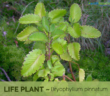 Life-plant-Health-benefits