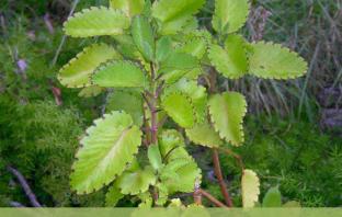 Life-plant-Health-benefits