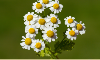 15 Health benefits of Feverfew
