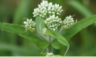 8 Health benefits of Boneset