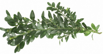 Boxwood benefits and uses