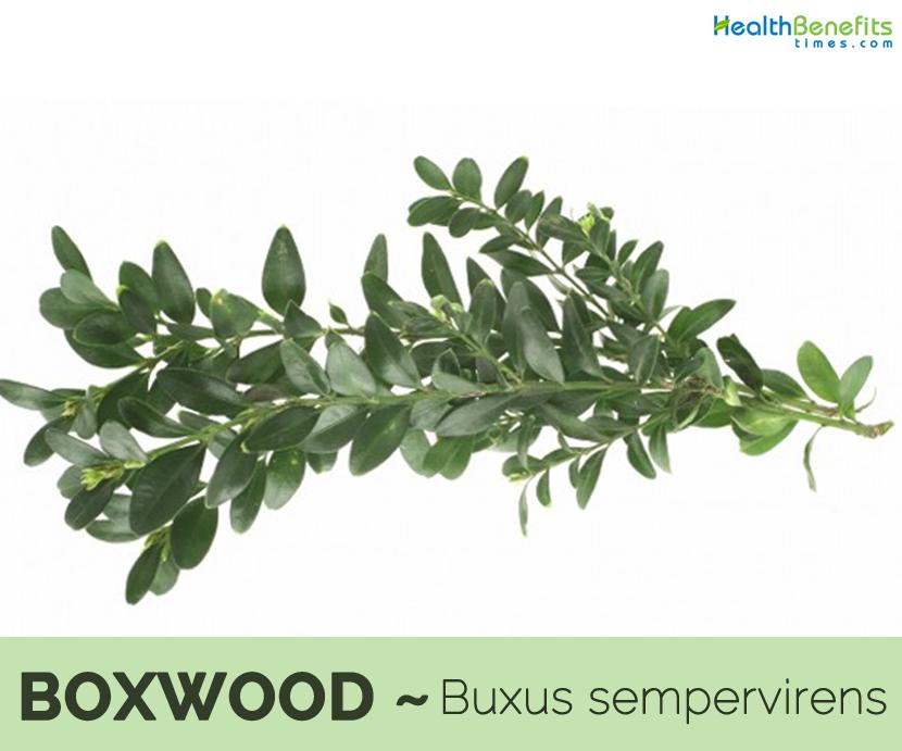 Boxwood benefits and uses