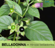13 Health benefits of Belladonna (deadly nightshade)