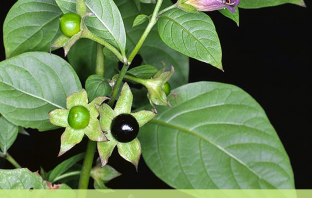 13 Health benefits of Belladonna (deadly nightshade)