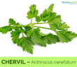 Health-benefits-of-Chervil