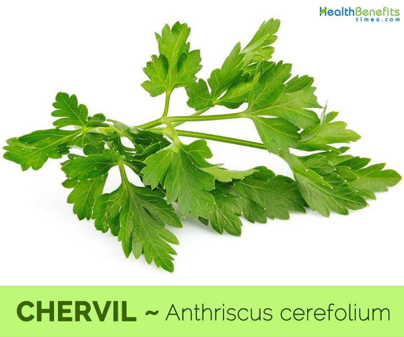 Health-benefits-of-Chervil