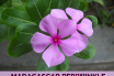 Health benefits of Madagascar periwinkle