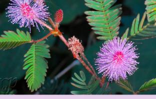 Health benefits of Sensitive plant